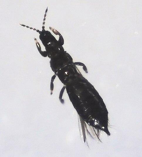 Thysanoptera R.H (1).jpg