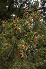 Photo: Spruce bud worm damage to Douglas Fir