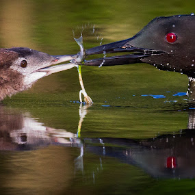 Feeding the Youngster by Mike Trahan - Animals Birds ( bird, reflection, mother, nature, common loon, feeding, baby )