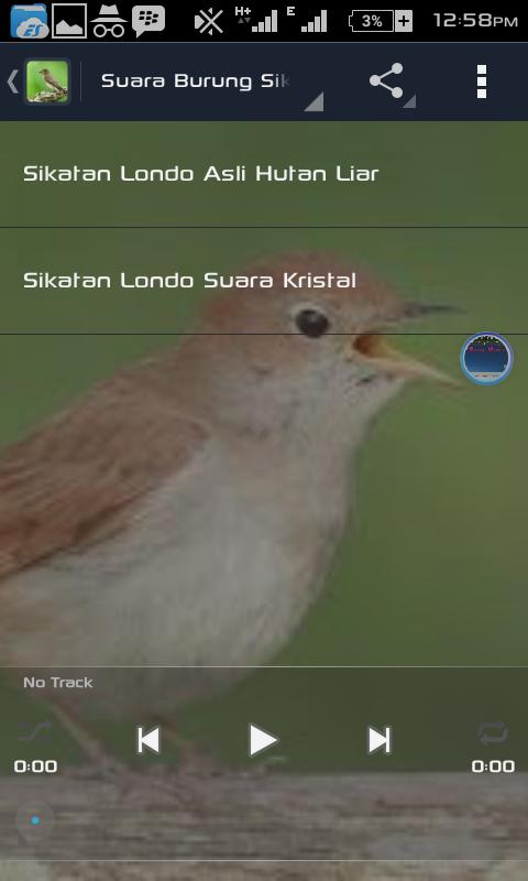 Harga Burung Sikatan Londo : harga, burung, sikatan, londo, Gambar, Variasi, Suara, Burung, Nightingale, Alias, Sikatan, Londo, Jiosss, Masteran, Rebanas