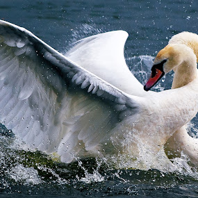 Swan fight by Paschalis Angelopoulos - Animals Birds ( fight, bite, swan, feathers )