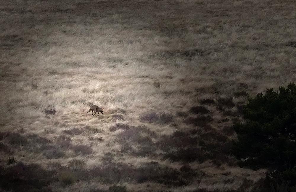 Lobo ibérico (Iberian wolf)