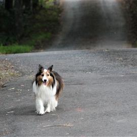 SADIE by Patti Westberry - Animals - Dogs Running ( sadie, collie, canine, dog, pet,  )