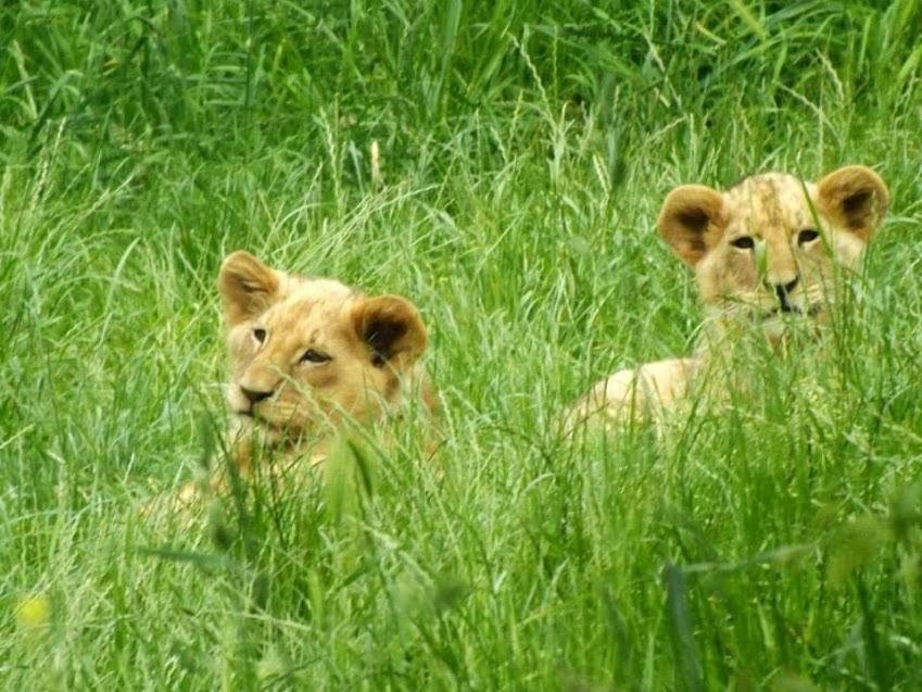 Lionceaux d'Angola (2 mois), Mervent - Tous droits réservés