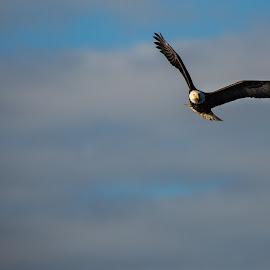 Bald Eagle in Flight by Craig Lybbert - Animals Birds ( flight, eagle, soar, bald, bald eagle, clouds )