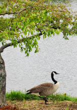 Photo: Canadian Goose under a tree by a lake at Cox Arboretum and Garden Metropark in Dayton, Ohio.