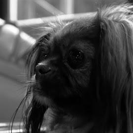 Miss by Iva Marinić - Animals - Dogs Portraits ( monochrome, black and white, portait, dog, photography, dog portrait )