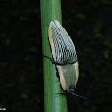 Chalcolepidius sp.