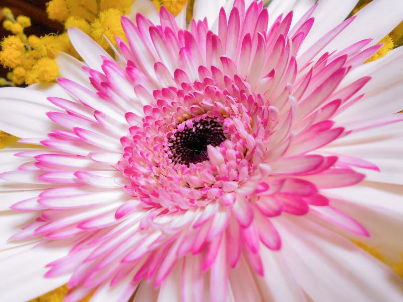 Fiore di gerbera di angela_d