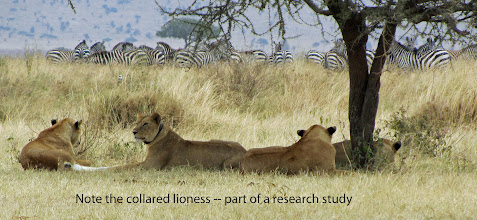 """Photo: The """"brilliance"""" of zebras observed by a """"pride"""" of lions."""