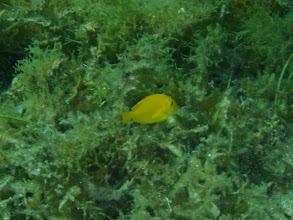 Photo: Acanthurus pyroferus, (Mimic Tang), Siquijor Island, Philippines