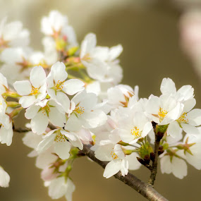 by Lisa Mirante - Nature Up Close Flowers - 2011-2013 ( tree, white, brown, spring, flower )