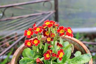 Photo: 拍攝地點: 梅峰-溫帶花卉區 拍攝植物: 西洋報春花 拍攝日期: 2014_12_17_FY
