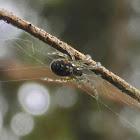 Zygiella Orbweaver