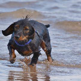 Samson by Mark Butterworth - Animals - Dogs Playing