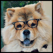 Chow Chow Dog Wallpaper