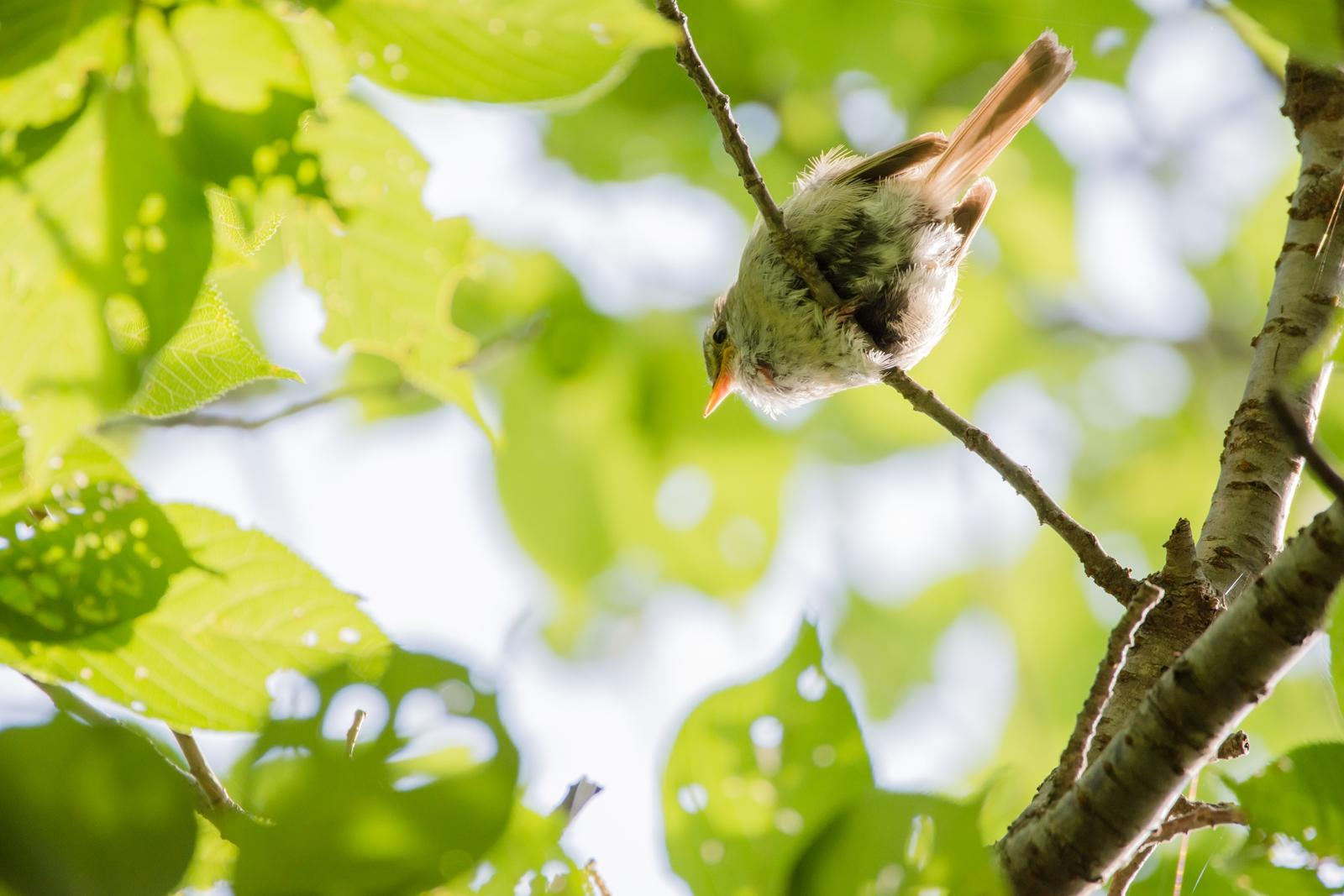 Photo: 木の上の舞台で Singing in the tree stage.  今日も木の上の舞台で 精いっぱいに歌を届ける ちゃんと聴いているよ 想いを込めた君の歌  Japanese Bush Warbler. (ウグイス)  #birdphotography #birds #cooljapan #kawaii #nikon #sigma  Nikon D7200 SIGMA 150-600mm F5-6.3 DG OS HSM Contemporary  ・小鳥の詩朗読 /poetry reading https://youtu.be/dBap0t5Qd9w?list=PL2YtHGm0-R3qVsaqvQe9OYdJFCkI98wzF