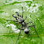 Ant mimicking jumping spider