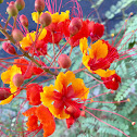 Red Mexican Bird of Paradise