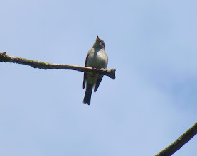 Photo: Western Wood-Peewee:  http://www.allaboutbirds.org/guide/Western_Wood-Pewee/id