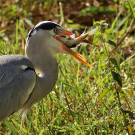 Grey Heron with lunch by Judy Patching - Novices Only Wildlife ( nature, fish, wildlife, lunch, heron,  )