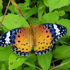 Indian Fritillary Female