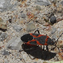 Small Milkweed Bug (mature)