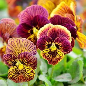 Poppy by Arsalan Sandhila - Flowers Flower Gardens ( spring, orange, flowers, blossom, bloom, nature up close, garden, nature close up, flower, poppy flower )