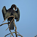 The Indian cormorant