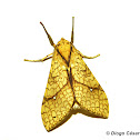 Santa Ana Tussock Moth