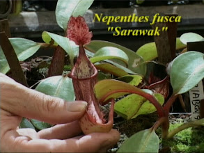 Photo: Nepenthes fusca. Video image: S. Hartmeyer.