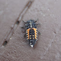 lady bug larva