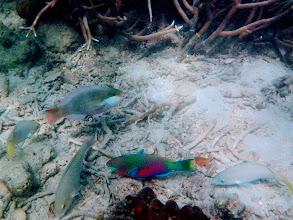 Photo: Parrotfish, Chindonan Island, Palawan, Philippines.