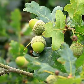 Acorns in Dartmoor, UK by Big Pikey - Nature Up Close Trees & Bushes ( english oak branch, acorns, oak leaves and acorns, english oak acorns, english oak,  )
