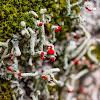 Devil's matchsticks lichen