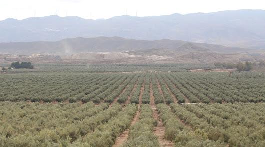 Almería ve crecer el 15% la producción de aceite y espera un repunte de precios