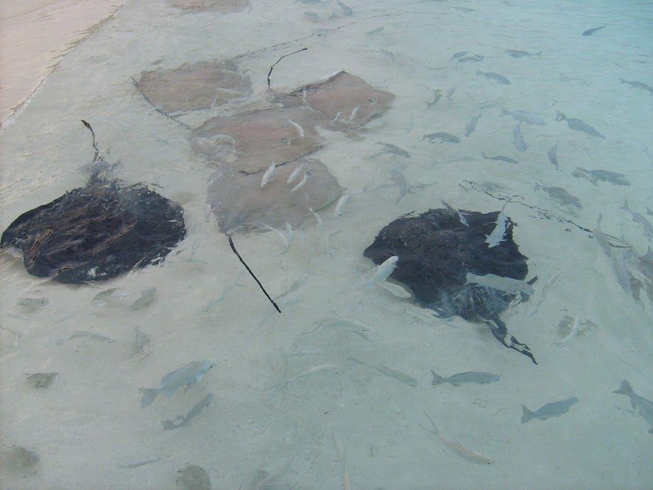 Maldives Sting Rays