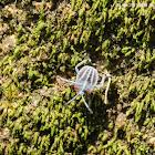 Tessaratoma papillosa(Nymph)  茘蝽(若蟲)