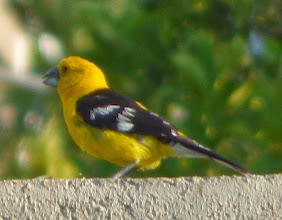Photo: Yellow Oriole