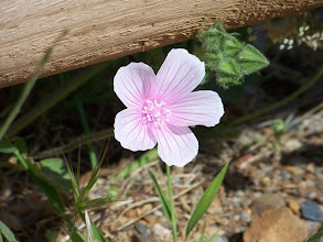 Photo: Malva hispanica
