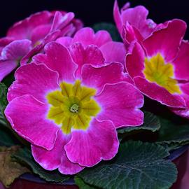 veri nice spring flowers by LADOCKi Elvira - Flowers Flower Arangements ( floral, nature, plants, garden, flower )