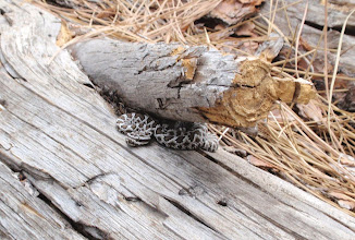 Photo: Fay-Luther/Jobs Peak Ranch Trail-Rattlesnake