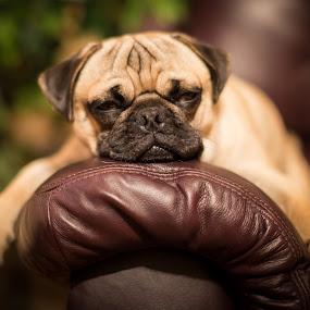 Sleepy! by Bill Killillay - Animals - Dogs Portraits ( relaxed, bujo, tired, puppy, sleepy, dog, cute, pug )