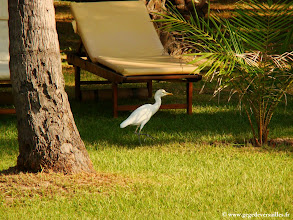 Photo: #009-Aigrette dans la cocoteraie du Club Med de Cap Skirring