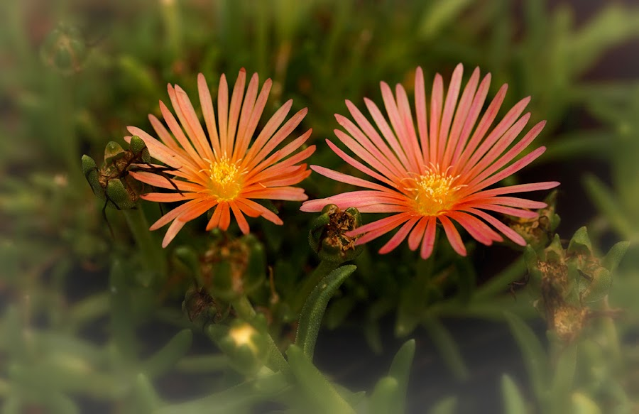 Twins by Radu Eftimie - Flowers Flowers in the Wild ( pink, insect, flowers,  )