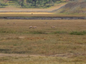 Photo: Pronghorn in Lamar Valley