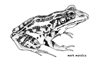 Photo: Rana palustris | Pickerel frog