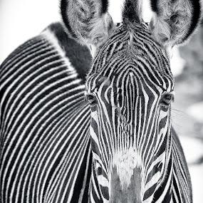Zebra Stare by T.J. Wolsos - Animals Other Mammals ( zoo, black and white, zebra, stripes, stripe, animal )