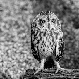 Long eared owl by Garry Chisholm - Black & White Animals ( bird of prey, nature, long eared owl, raotir, garry chisholm )