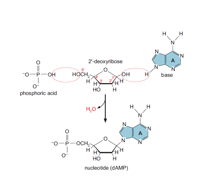 Mecanismos quimioterapéuticos basados en nucleósidos: la capecitabina